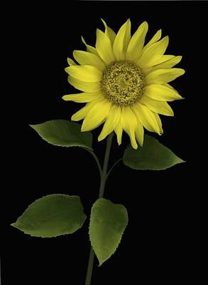 Sunflower Print by Deddeda