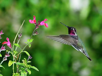 Annas Hummingbird Bird Sing Perches Fly Flowers Outdoors Backyard Flight Photograph - Anna's Hummingbird by Thy Bun