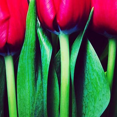 Tulips Photograph - Instagram Photo by Ritchie Garrod
