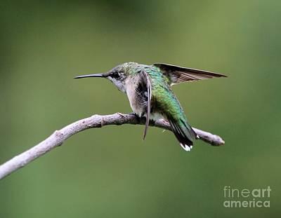 Ruby-throated Hummingbird Print by Jack R Brock