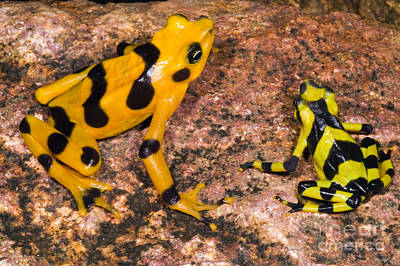 Harlequin Toad Print by Dante Fenolio