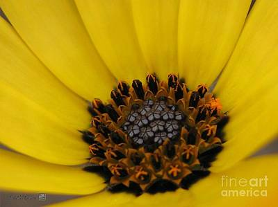 Mccombie Photograph - African Daisy Named African Sun by J McCombie