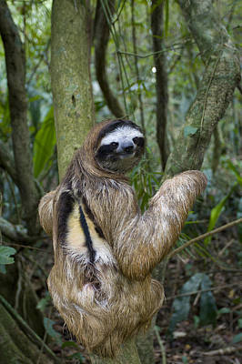 Brown-throated Three-toed Sloth Print by Suzi Eszterhas