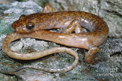 Salamanders Photograph - Cave Salamander by Dante Fenolio