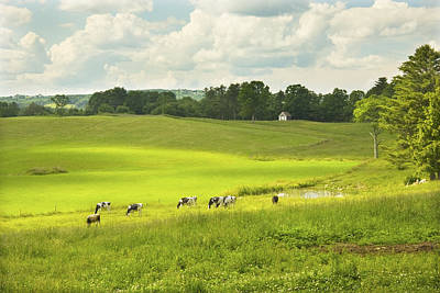New England Dairy Farms Photograph - Cows Grazing On Grass In Farm Field Summer Maine by Keith Webber Jr