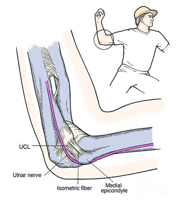 Illustration Of Elbow Ligaments Print by Science Source