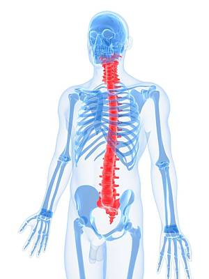 X-ray Image Digital Art - Spine, Artwork by Sciepro