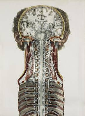 Sympathetic Photograph - Brain And Spinal Cord, 1844 Artwork by