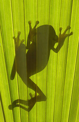 Chachi Tree Frog Hyla Picturata Print by Pete Oxford