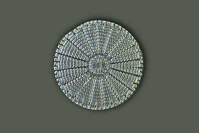Diatom, Light Micrograph Print by Frank Fox