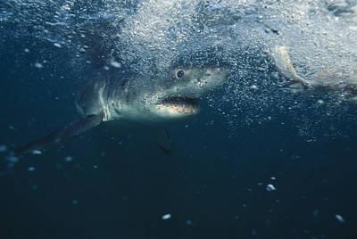 Great White Shark Print by Alexis Rosenfeld