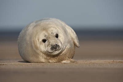 Water Play Photograph - Grey Seal Pup by Andy Astbury