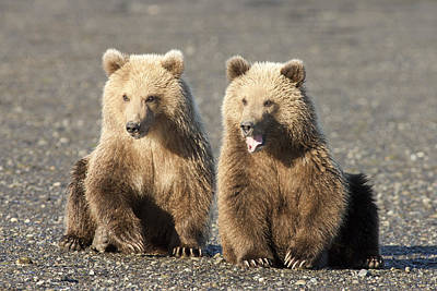 Grizzly Bear Ursus Arctos Horribilis Print by Matthias Breiter