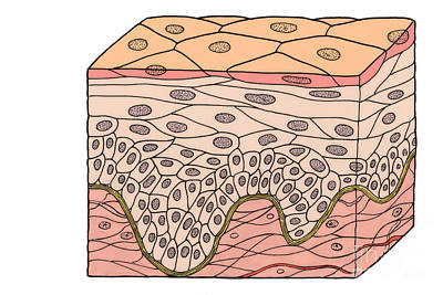 Illustration Of Stratified Squamous Print by Science Source