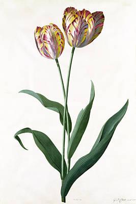 5 Tulip Tulip  Print by Georg Dionysius Ehret