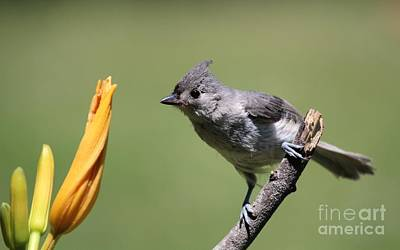 Tufted Titmouse Print by Jack R Brock