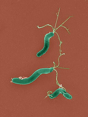Helicobacter Pylori Bacteria, Sem Print by