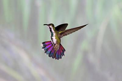 Mango Photograph - Hummingbird by David Tipling