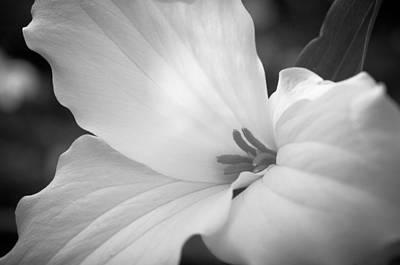 Floral Photograph - Wild Trillium by The Trillium Guy