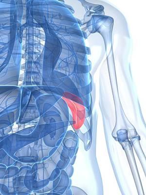 Healthy Spleen, Artwork Print by Sciepro
