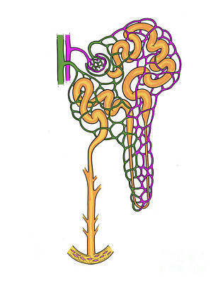Illustration Of Nephron Print by Science Source