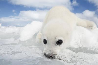 Whitecoat Harp Seal Pup Print by Daisy Gilardini