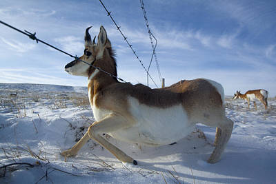 A Barbed Wire Fence Is An Obstacle Print by Joel Sartore