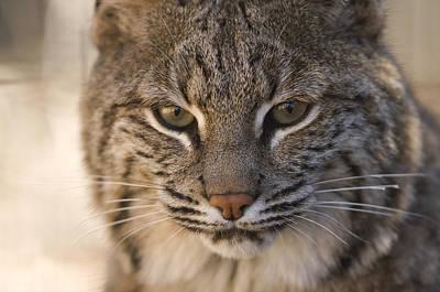 A Bobcat At The Rolling Hills Zoo Print by Joel Sartore