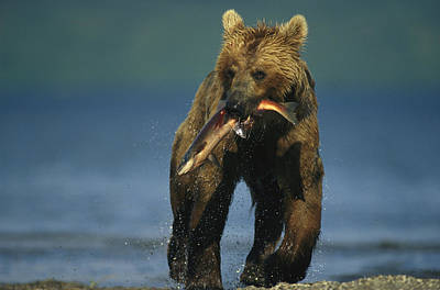 A Brown Bear Eating A Freshly Caught Print by Klaus Nigge