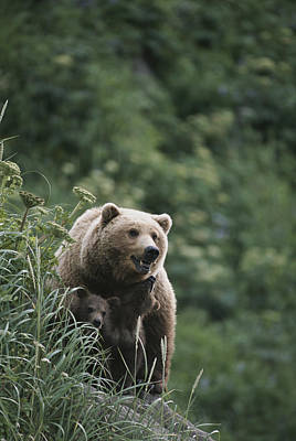 A Brown Bear Sow With Her Twin Cubs Print by Tom Murphy