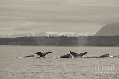 Black And White Photograph - A Busy Humpback Pod by Darcy Michaelchuk