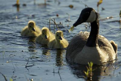A Canada Goose Branta Canadensis Family Print by Tim Laman