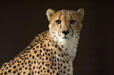 A Cheetah Acinonyx Jubatus Urinates Print by Joel Sartore