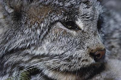 Canadian Lynx Photograph - A Close View Of A Canadian Lynx Lynx by Paul Nicklen