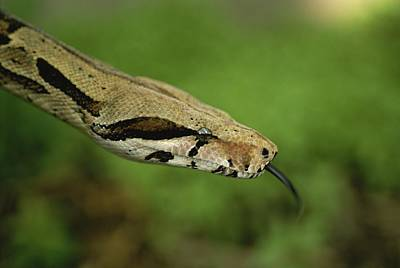 Boa Constrictor Photograph - A Close View Of A Red-tailed Boa by Joel Sartore