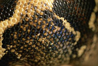 Boa Constrictor Photograph - A Close View Of The Scales by Joel Sartore