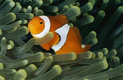 Clown Anemonefish Photograph - A Close-view Photograph Of A False by Wolcott Henry