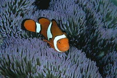 Clown Anemonefish Photograph - A Clown Anemonefish Of The Western by Wolcott Henry