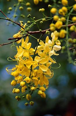 Cassia Blossoms Photograph - A Cluster Of Flowers Cascades by Jason Edwards
