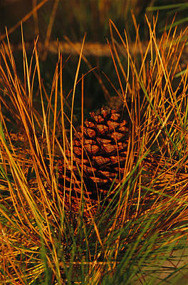 A Cluster Of Long Leaf Pine Needles Print by Raymond Gehman