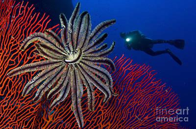 A Crinoid On A Bright Red Sea Fan Print by Steve Jones