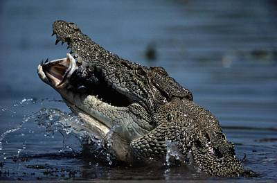 Gods And Goddesses Photograph - A Crocodile Eats A Giant Perch Fish by Belinda Wright