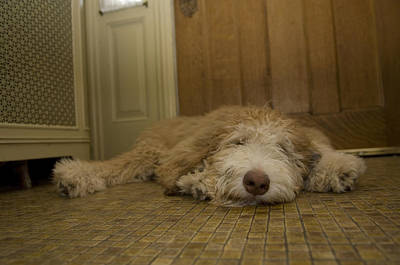 A Dog Lies On A Linoleum Floor Print by Joel Sartore