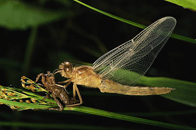 Danum Valley Conservation Area Photograph - A Dragonfly, Family Libellulidae by Tim Laman