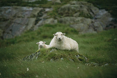 Ben Nevis Photograph - A Ewe And Her Lamb Resting On A Small by Joel Sartore