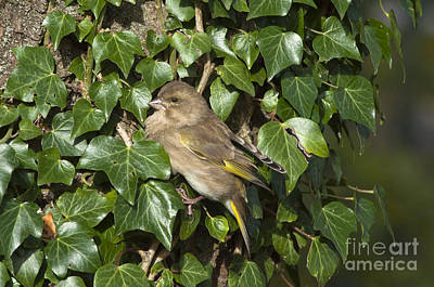 Bird Photograph - A Female Chaffinch by Andrew  Michael