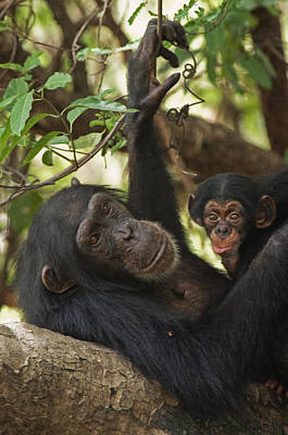 Senegal Photograph - A First-time Mother Chimpanzee Reclines by Frans Lanting