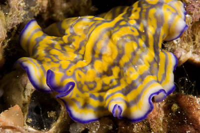 Malapascua Island Photograph - A Flatworm Crawls Over The Reef by Tim Laman