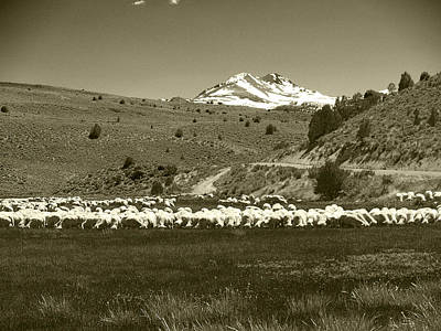 A Flock Of Sheep 3 Print by Philip Tolok