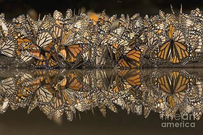 Fluttering Photograph - A Flutter Of Monarchs Drinking  by Ingo Arndt